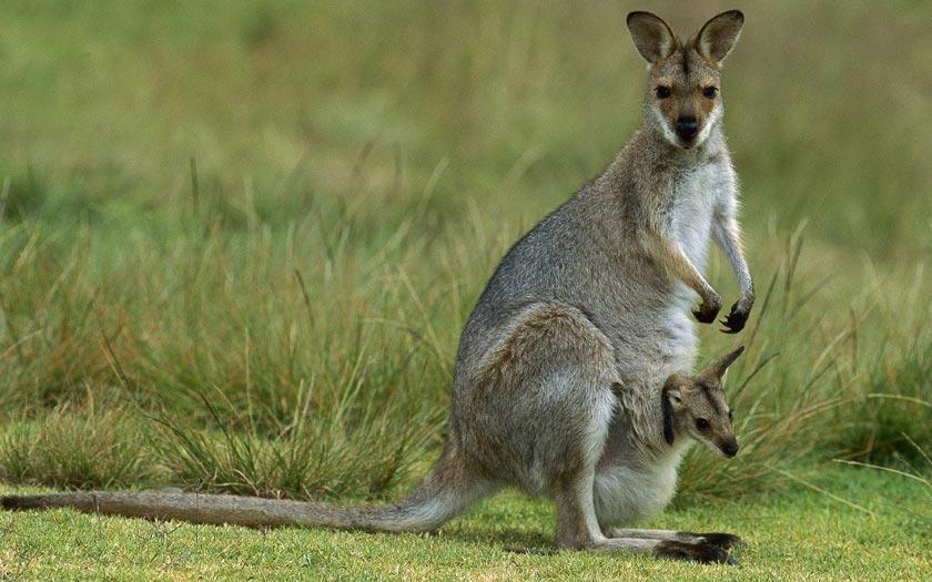 Voyage Australie Kangourou